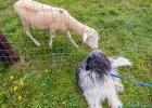 neugierig wird Clarence von dem Schaf beschnuppert