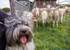 Clarence und die Background-Schafe