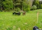 wieder Schafe, diesmal schwarze