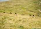 diese Kuhherde mussten wir noch umrunden am Weg zum Wildsee
