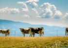 Kühe, auf der richtigen Seite vom Zaun ;)