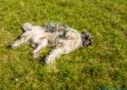 Clarence taugt sich mal im Gras auf der Weide