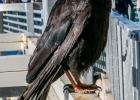 hungrige Vögel beim Restaurant - gut genährt der dicke Brummer ;)
