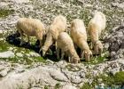 Schafe waren auch unterwegs