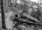 old fallen tree in B&W