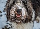 Schneeschnauze Clarence
