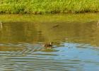 auch die Enten schwimmen gechillt imTeich