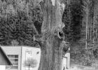 heftig zu recht gestutzt - war sicher einmal ein imposanter Baum - schade