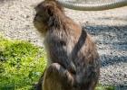 da sitzt der kleine Makake und schaut die Massen an