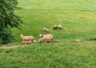 Schafe in Sommermode