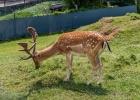 Wild beim Tierpark Herberstein