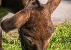 Die Ohren zeigen die Aufmerksamkeit der Esel