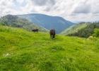 gemütlich grasende Esel in der Kuhherde