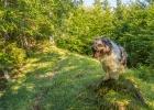 Clarence posed auf einem Baumstumpf in der Morgensonne