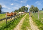 neugierige Kühe 3