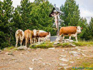 Kühe versperrten uns den Weg beim Türkenkreuz