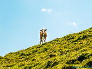 die schaut ganz verdutzt, auch dieser Kuh sind wir gut ausgwichen
